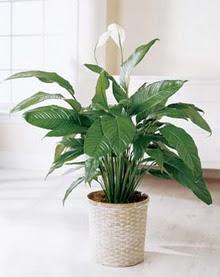 Tokat çiçek gönderme sitemiz güvenlidir  spatilyum ithal büyük boy