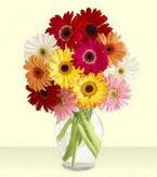 Tokat online çiçek gönderme sipariş  cam yada mika vazoda 15 özel gerbera