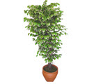 Ficus özel Starlight 1,75 cm   Tokat çiçek yolla