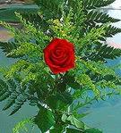 1 adet kirmizi gül buketi   Tokat İnternetten çiçek siparişi