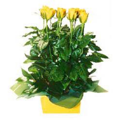 11 adet sari gül aranjmani  Tokat çiçek siparişi vermek