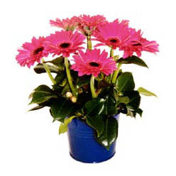 vazo içerisinde gerbera çiçekleri   Tokat çiçek gönderme sitemiz güvenlidir