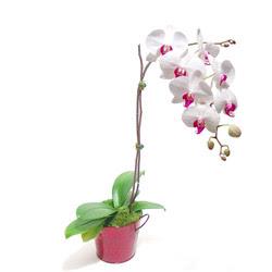 Tokat 14 şubat sevgililer günü çiçek  Saksida orkide