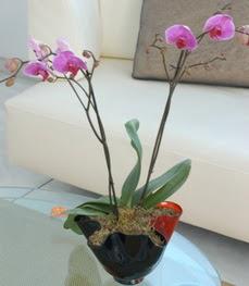 Tokat kaliteli taze ve ucuz çiçekler  tek dal ikili orkide saksi çiçegi