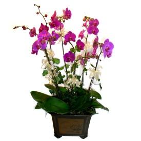 Tokat çiçek yolla  4 adet orkide çiçegi