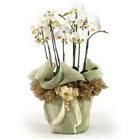 Tokat güvenli kaliteli hızlı çiçek  3 dal orkide , saksi çiçegi , 3 kök orkide