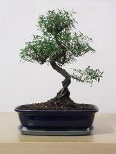 ithal bonsai saksi çiçegi  Tokat İnternetten çiçek siparişi