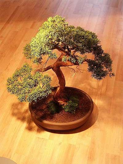 ithal bonsai saksi çiçegi  Tokat çiçek siparişi sitesi