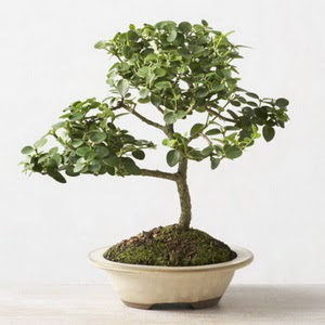 ithal bonsai saksi çiçegi  Tokat hediye çiçek yolla