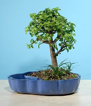 ithal bonsai saksi çiçegi  Tokat online çiçekçi , çiçek siparişi