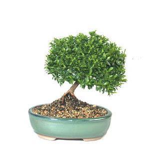 ithal bonsai saksi çiçegi  Tokat çiçek gönderme