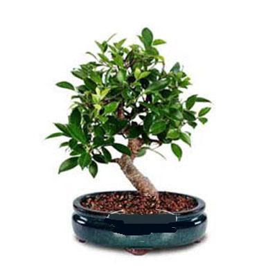 ithal bonsai saksi çiçegi  Tokat güvenli kaliteli hızlı çiçek