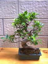 ithal bonsai saksi çiçegi  Tokat ucuz çiçek gönder