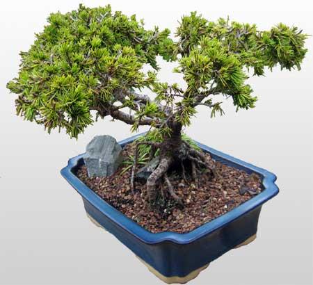 ithal bonsai saksi çiçegi  Tokat kaliteli taze ve ucuz çiçekler