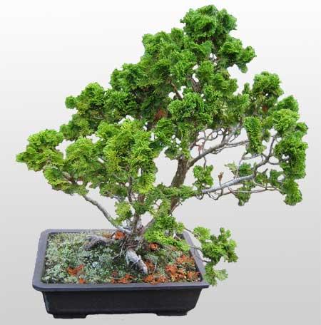 ithal bonsai saksi çiçegi  Tokat cicek , cicekci