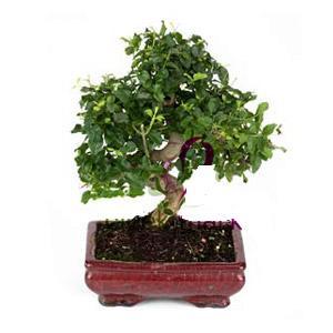 ithal bonsai saksi çiçegi  Tokat çiçek , çiçekçi , çiçekçilik