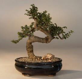 ithal bonsai saksi çiçegi  Tokat çiçek satışı