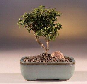 Tokat uluslararası çiçek gönderme  ithal bonsai saksi çiçegi  Tokat yurtiçi ve yurtdışı çiçek siparişi