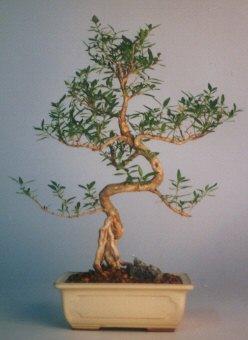 Tokat hediye sevgilime hediye çiçek  ithal bonsai saksi çiçegi  Tokat İnternetten çiçek siparişi
