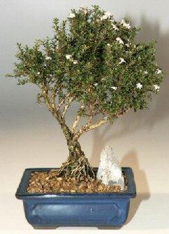 Tokat çiçek online çiçek siparişi  ithal bonsai saksi çiçegi  Tokat çiçek gönderme sitemiz güvenlidir