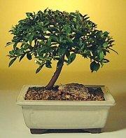 Tokat çiçek servisi , çiçekçi adresleri  ithal bonsai saksi çiçegi  Tokat çiçek yolla