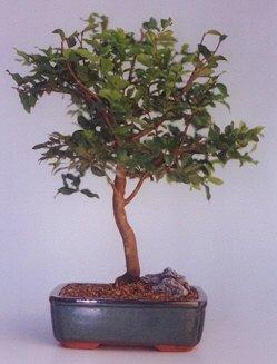 Tokat çiçek servisi , çiçekçi adresleri  ithal bonsai saksi çiçegi  Tokat çiçek , çiçekçi , çiçekçilik