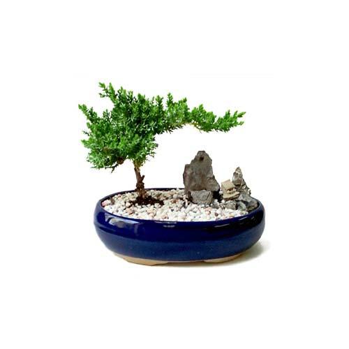 ithal bonsai saksi çiçegi  Tokat 14 şubat sevgililer günü çiçek