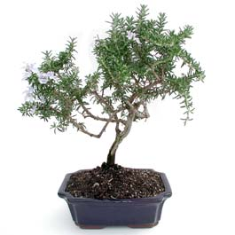 ithal bonsai saksi çiçegi  Tokat anneler günü çiçek yolla