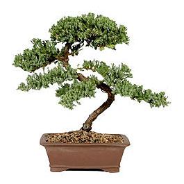 ithal bonsai saksi çiçegi  Tokat cicekciler , cicek siparisi