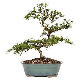 Tokat cicek , cicekci  ithal bonsai saksi çiçegi  Tokat cicekciler , cicek siparisi