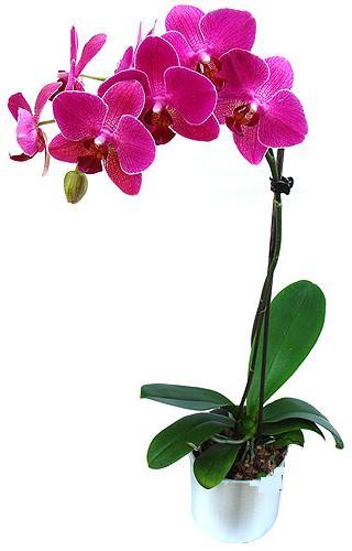 Tokat kaliteli taze ve ucuz çiçekler  saksi orkide çiçegi