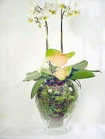 Tokat hediye sevgilime hediye çiçek  Cam yada mika vazoda özel orkideler