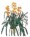 Tokat online çiçekçi , çiçek siparişi  Orchiede ithal büyük boy saksi