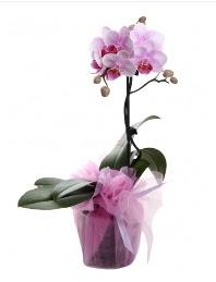 1 dal pembe orkide saksı çiçeği  Tokat internetten çiçek satışı