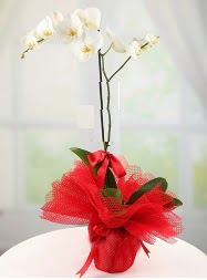 1 dal beyaz orkide saksı çiçeği  Tokat internetten çiçek siparişi