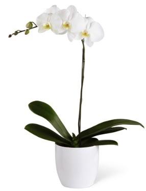 1 dallı beyaz orkide  Tokat çiçek satışı