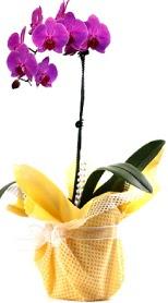 Tokat güvenli kaliteli hızlı çiçek  Tek dal mor orkide saksı çiçeği