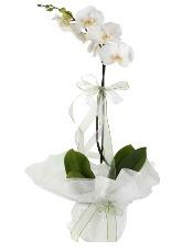 1 dal beyaz orkide çiçeği  Tokat İnternetten çiçek siparişi