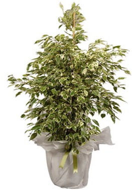 Orta boy alaca benjamin bitkisi  Tokat yurtiçi ve yurtdışı çiçek siparişi