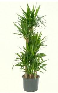 7 li yucca saksı bitkisi  Tokat çiçekçi mağazası