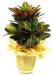 Orta boy kraton saksı çiçeği  Tokat çiçek satışı