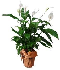 Orta boy barış çiçeği limon çiçeği  Tokat çiçek yolla , çiçek gönder , çiçekçi