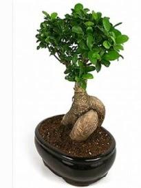 Bonsai saksı bitkisi japon ağacı  Tokat güvenli kaliteli hızlı çiçek