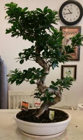 100 cm yüksekliğinde dev bonsai japon ağacı  Tokat cicek , cicekci
