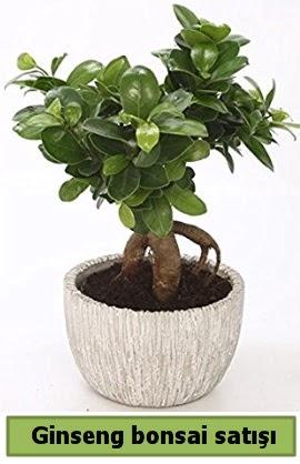 Ginseng bonsai japon ağacı satışı  Tokat anneler günü çiçek yolla