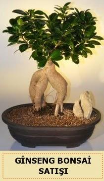 İthal Ginseng bonsai satışı japon ağacı  Tokat güvenli kaliteli hızlı çiçek