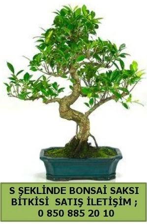 İthal S şeklinde dal eğriliği bonsai satışı  Tokat 14 şubat sevgililer günü çiçek