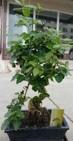 Bonsai japon ağacı saksı bitkisi  Tokat İnternetten çiçek siparişi