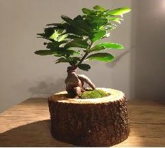 Doğal kütükte Bonsai japon ağacı satışı  Tokat yurtiçi ve yurtdışı çiçek siparişi