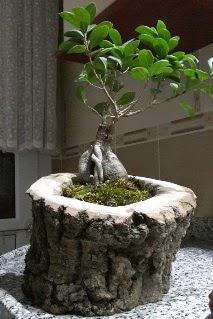 Ahşap kütük içerisinde ginseng bonsai  Tokat çiçek yolla , çiçek gönder , çiçekçi